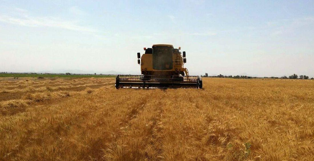 خرید بیش از ۳۰ هزار تن گندم توسط شبکه تعاون روستایی هرمزگان