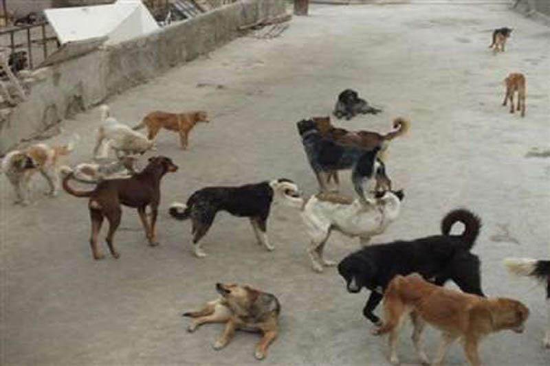 جمع آوری ١۴٧٧ قلاده سگ بدون صاحب در بندرعباس