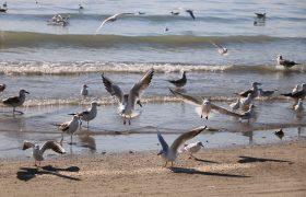 مرغان دریایی (ساحل سورو بندرعباس)