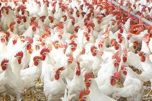 کشتار ۱۰ تن مرغ گرم مازاد بر نیاز در هرمزگان