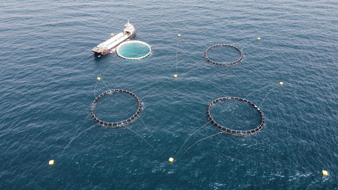 آغاز ذخیره سازی بچه ماهی در قفس های پرورش ماهی شرکت آبزیان دشت مروارید